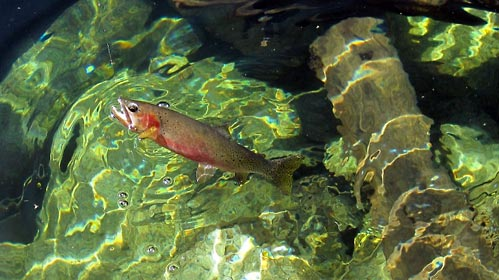 Colorful cutthroat trout in clear water.
