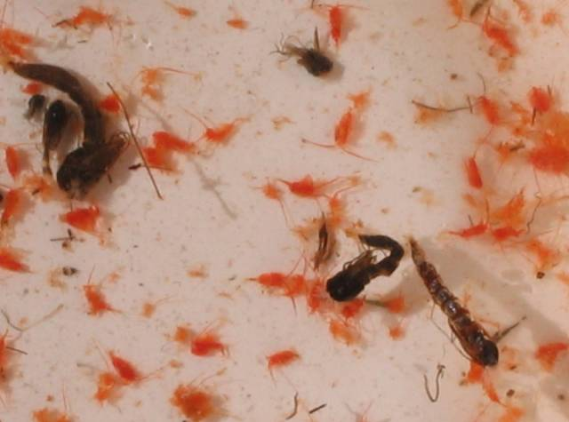 Tiny red copopods shown in white dish with larger mosquitoe larvae.