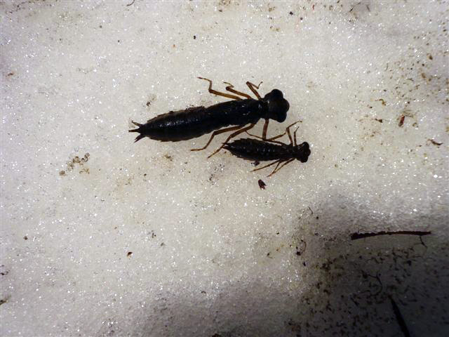 Dragonfly larvae shown on snow.