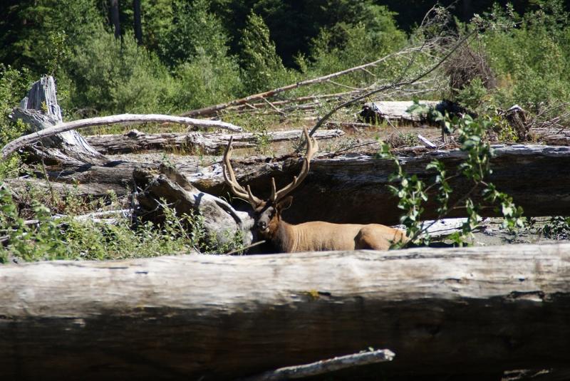 37 McKlosky - Elk!