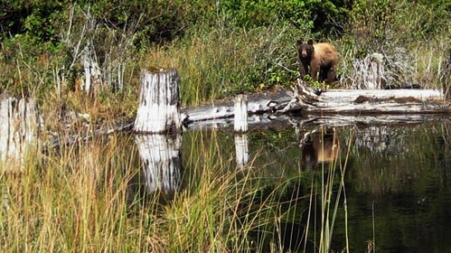 A bear across the end of a small lake.