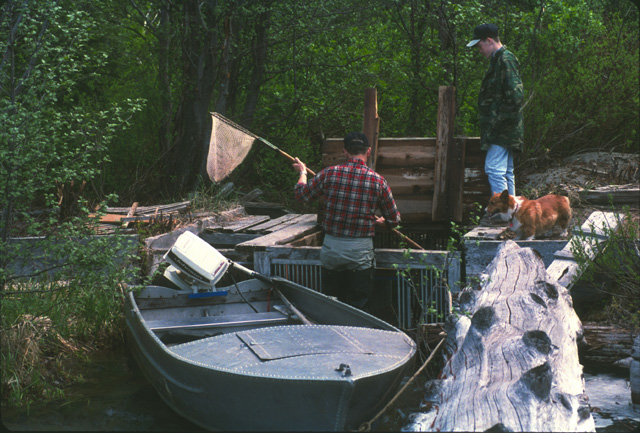 Here biologist Bob Pfeifer is netting fish out of one of the traps.  The WDFW maintains a small boat with outboard motor, grandfathered into the Wilderness Act, to transport fish from the inlet traps to the outlet holding area.