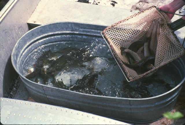 The netted fish are placed into this wash tub in the bottom of the boat.  An anesthetic is added to the water to calm the fish for the ride to the outlet.