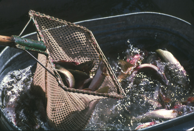 At the outlet, the procedure is reversed and the fish are netted out of the washtub...