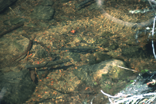 Here is a shot of trout spawning in an inlet steam of a lake near White Pass.  Natural spawning often leads to excessive populations of trout that impact the food resources of the lake, leading to stunted fish.  This lake is close enough to the trail head and popular, so that it receives enough fishing pressure to offset the natural reproduction.
