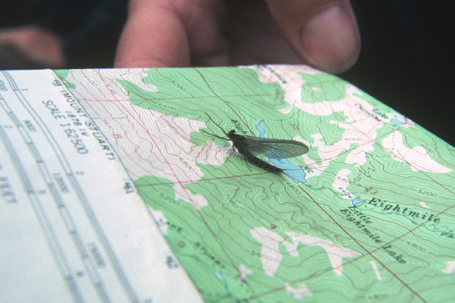 One of the primary food resources for high lakes trout is the calebaetis mayfly.  This is an example of the adult mayfly perched on a topographical map near the actual location of the lake where the picture was taken.  Other key food resources include midge larvae and nymphs (chironomids), cased caddis larvae, adult caddis flies, large red copepods (primarily useful to rainbow trout), freshwater shrimp where they occur, dragon fly larvae, and damsel fly nymphs.  Ants and adult flying insects can be seasonally important.  Grass hoppers are not common at higher elevation lakes, but can be important at intermediate lakes, especially on the eastern side of the Cascades.