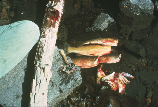 This shows the analysis of stomach contents of four cutthroat that ranged from 11 to 15 inches in size.  Along with the usual insect larvae and adults, the contents included one partially digested salamander and one mouse.