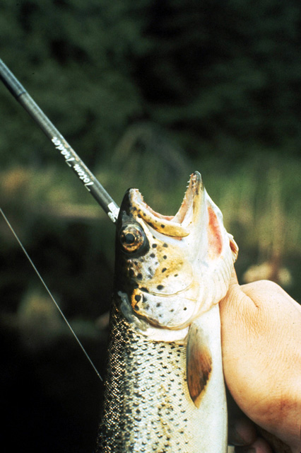 """This slide is of a 12 inch coastal cutthroat.  Note the uniform spotting pattern and the slight cutthroat """"slash"""" under the jaw."""