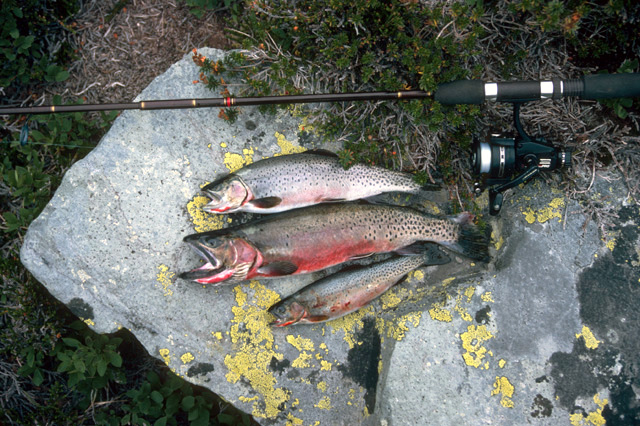 This slide of Twin Lakes cutthroat shows a 13 inch female at the top and 15 inch male in the middle and a fully mature 9-inch male at the bottom.