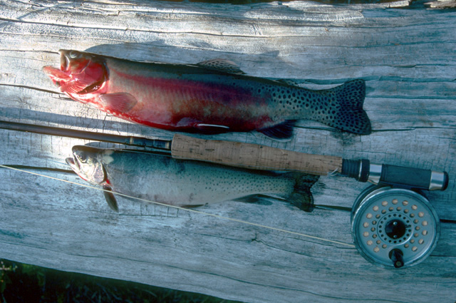 Here is a 14 inch golden trout and an 11 inch cutthroat from the same Glacier Peak Wilderness lake three years later.