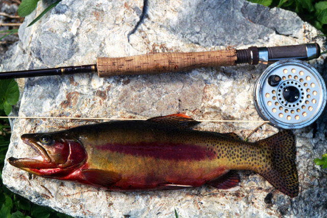 14 inch golden trout, male.