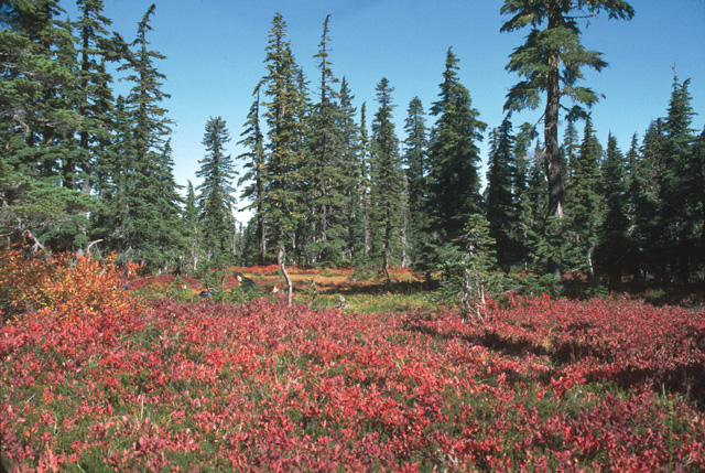 High alpine huckleberries, tucked into the heather meadows, also turn brightly red.  Indian Heaven is famous for fields of these heather meadow blue short bush huckleberries.