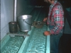 The fry to be planted are transferred at the hatchery and weighed...