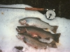 A few Washington high lakes still contain populations of Yellowstone or Montana Black Spotted cutthroat varieties.  Here is a picture of three Yellowstone strain cuts from a lake in the Glacier Peak Wilderness.  Note the uniform spotting pattern from head to tail of larger spots than those of coastal cutthroat.  The fish in the middle is a male cutthroat with females above and below.