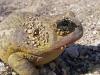 Mojave Lake Frog