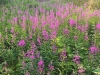 8-Fireweed-on-Fire-Jim-Welch