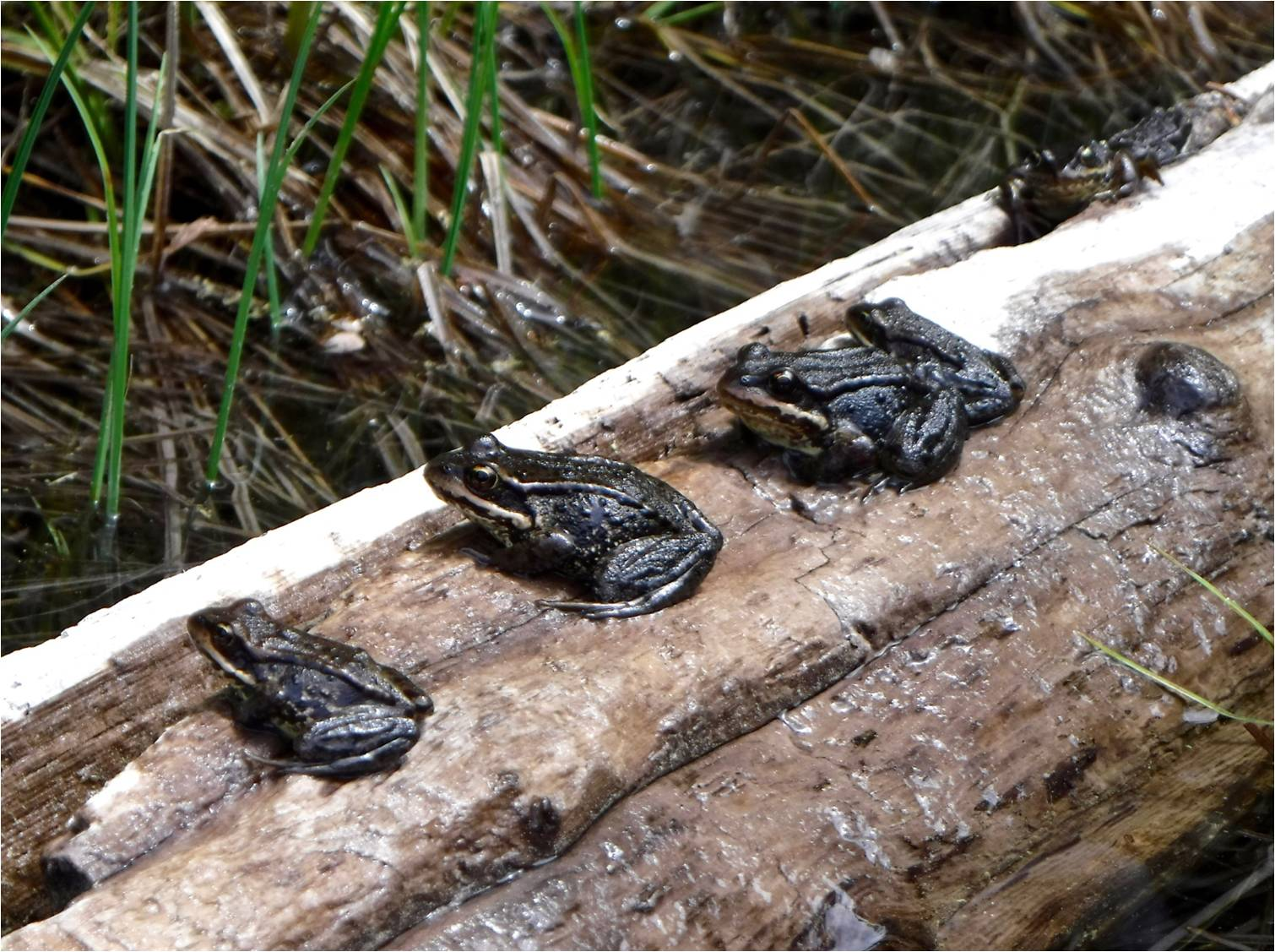 2-Frogs-on-a-log-David-Berger