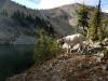 8-Cropp-Mtn-goat